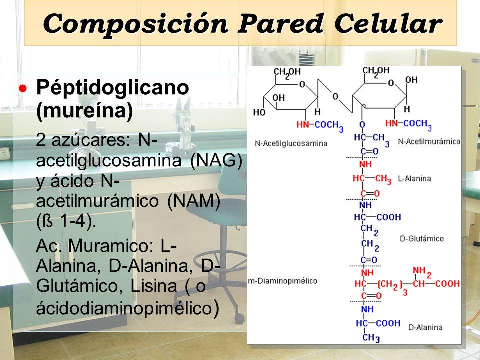 Composición Pared Celular Péptidoglicano (mureína) 2 azúcares: N- acetilglucosamina (NAG) y ácido N- acetilmurámico (NAM) (ß 1-4). Ac. Muramico: L- Al