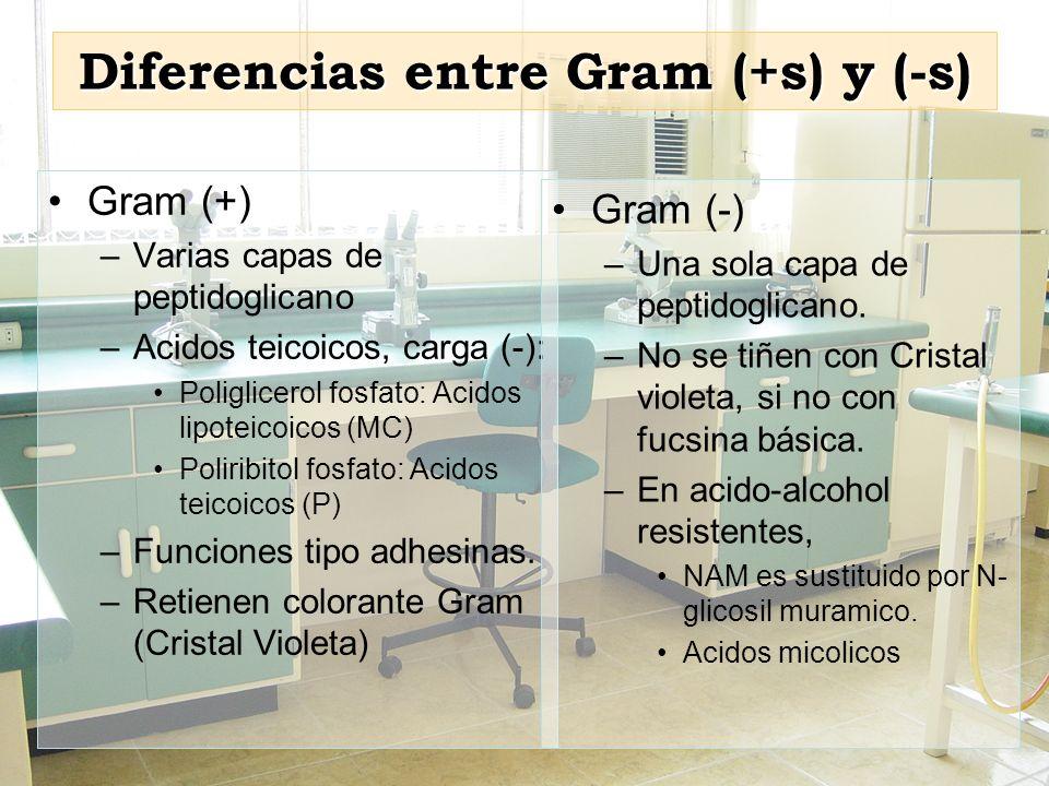 Diferencias entre Gram (+s) y (-s) Gram (+) –Varias capas de peptidoglicano –Acidos teicoicos, carga (-): Poliglicerol fosfato: Acidos lipoteicoicos (
