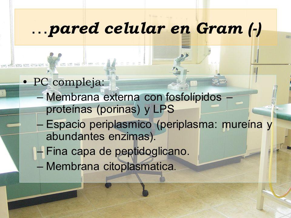 … pared celular en Gram (-) PC compleja: –Membrana externa con fosfolípidos – proteínas (porinas) y LPS –Espacio periplasmico (periplasma: mureína y a