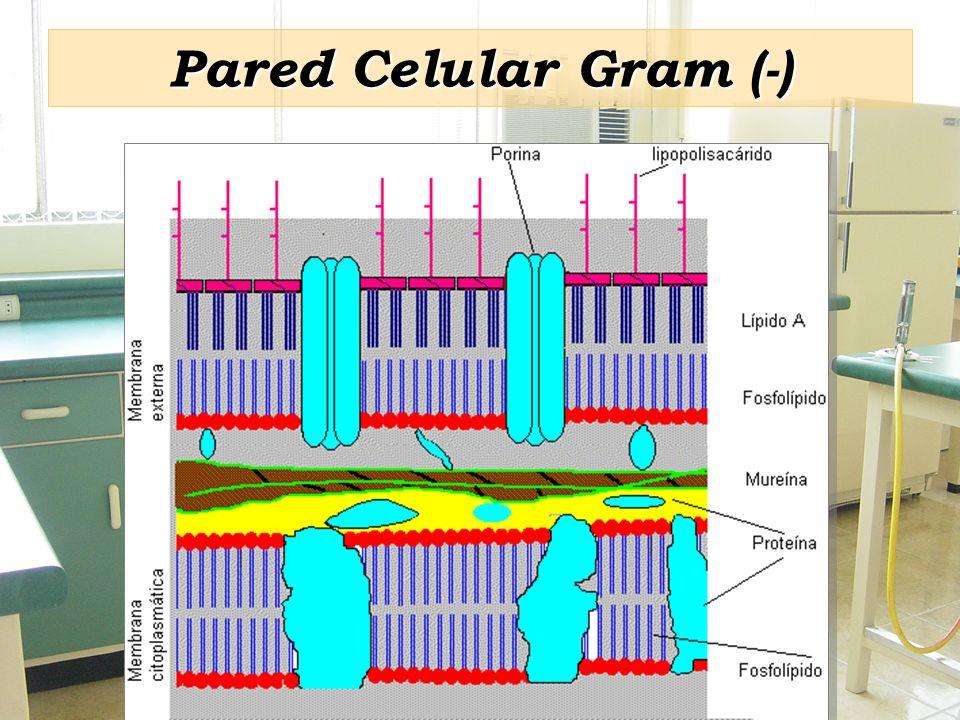 Pared Celular Gram (-)