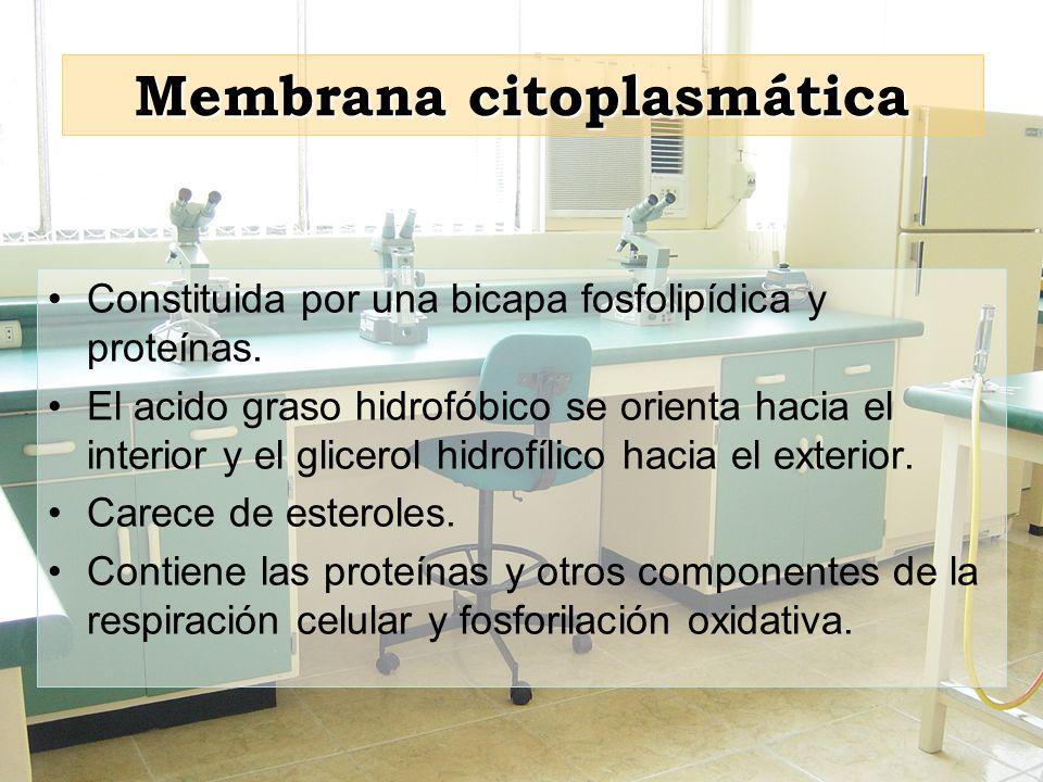 Membrana citoplasmática Constituida por una bicapa fosfolipídica y proteínas. El acido graso hidrofóbico se orienta hacia el interior y el glicerol hi