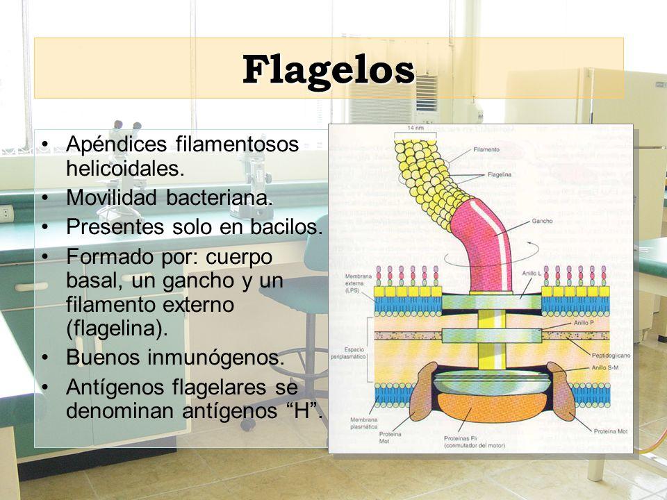 Flagelos Apéndices filamentosos helicoidales. Movilidad bacteriana. Presentes solo en bacilos. Formado por: cuerpo basal, un gancho y un filamento ext