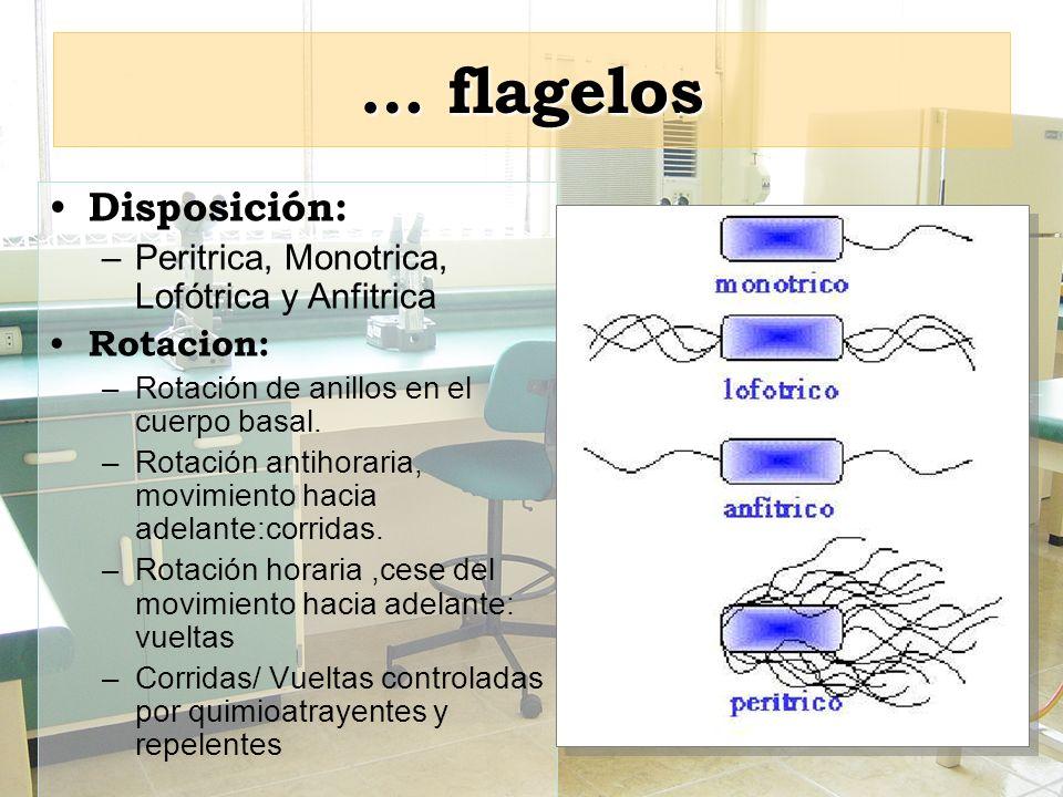 … flagelos Disposición: –Peritrica, Monotrica, Lofótrica y Anfitrica Rotacion: –Rotación de anillos en el cuerpo basal. –Rotación antihoraria, movimie