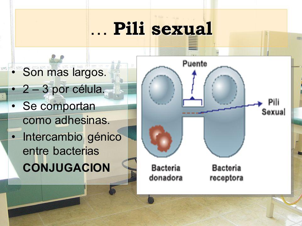 Pili sexual … Pili sexual Son mas largos. 2 – 3 por célula. Se comportan como adhesinas. Intercambio génico entre bacterias CONJUGACION