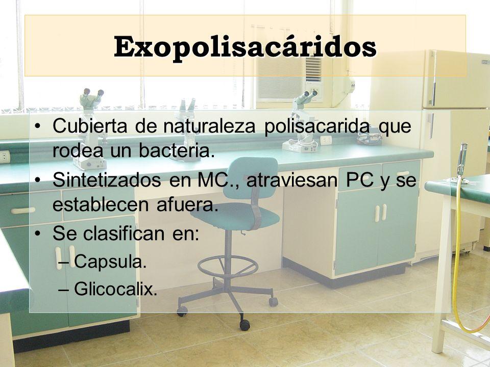 Exopolisacáridos Cubierta de naturaleza polisacarida que rodea un bacteria. Sintetizados en MC., atraviesan PC y se establecen afuera. Se clasifican e