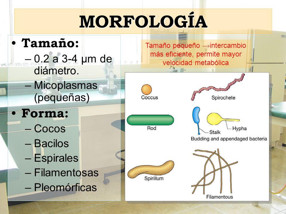 … pared celular en Gram (-) PC compleja: –Membrana externa con fosfolípidos – proteínas (porinas) y LPS –Espacio periplasmico (periplasma: mureína y abundantes enzimas).