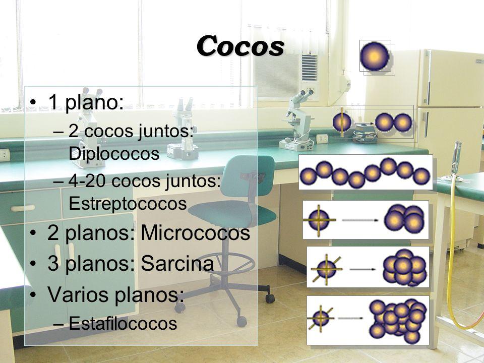 Cocos 1 plano: –2 cocos juntos: Diplococos –4-20 cocos juntos: Estreptococos 2 planos: Micrococos 3 planos: Sarcina Varios planos: –Estafilococos