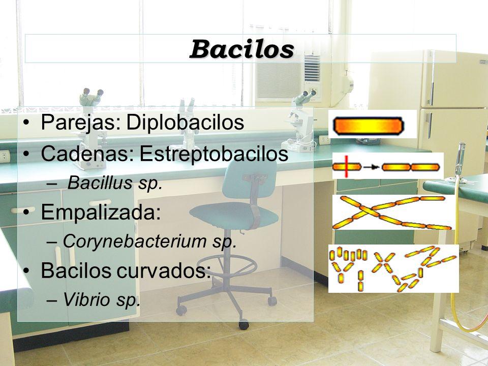 Bacilos Parejas: Diplobacilos Cadenas: Estreptobacilos – Bacillus sp. Empalizada: –Corynebacterium sp. Bacilos curvados: –Vibrio sp.