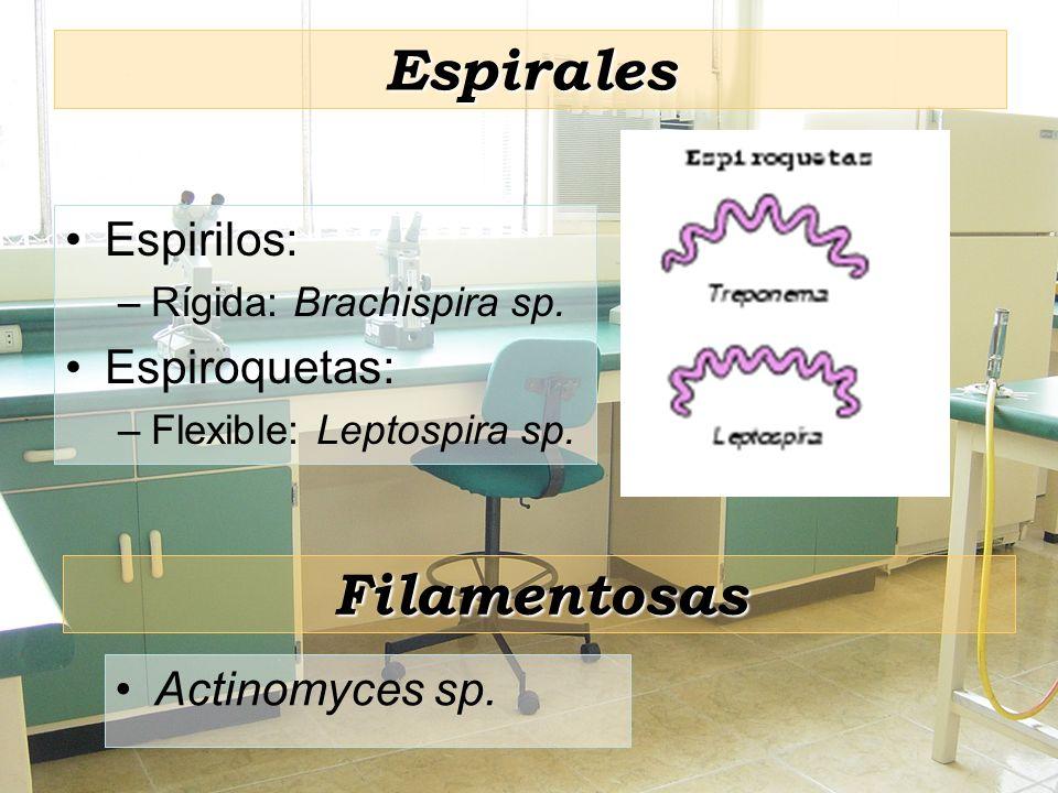 Espirales Espirilos: –Rígida: Brachispira sp. Espiroquetas: –Flexible: Leptospira sp. Filamentosas Actinomyces sp.
