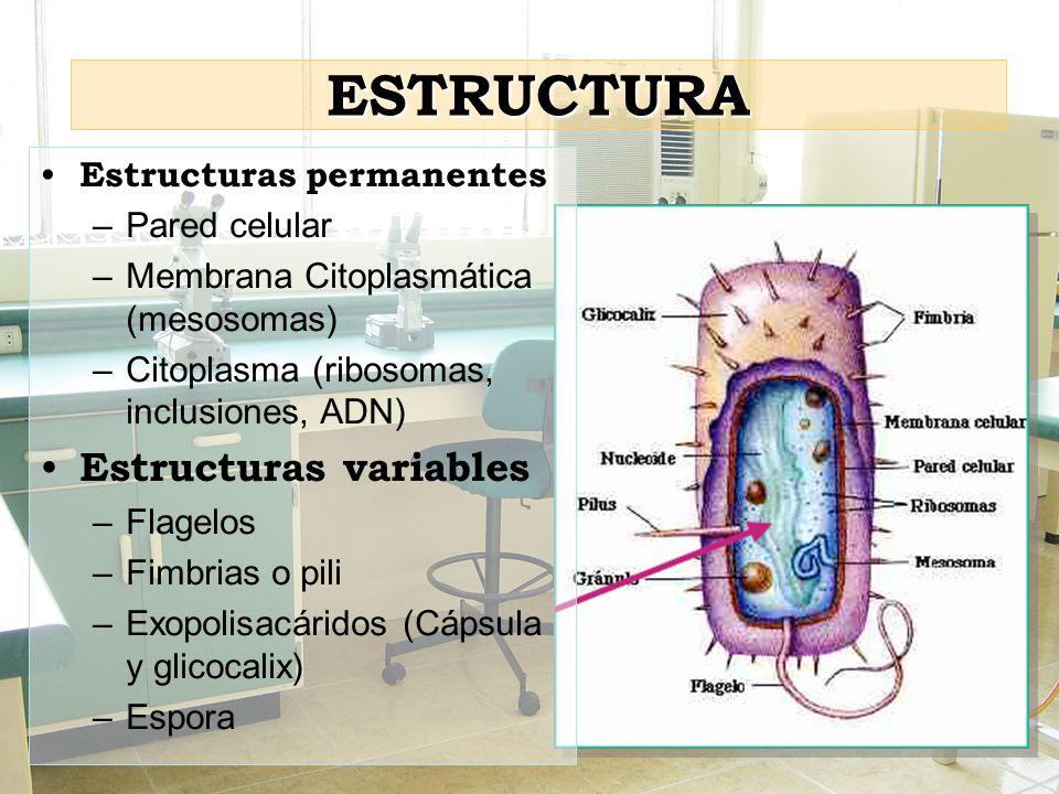 ESTRUCTURA Estructuras permanentes –Pared celular –Membrana Citoplasmática (mesosomas) –Citoplasma (ribosomas, inclusiones, ADN) Estructuras variables