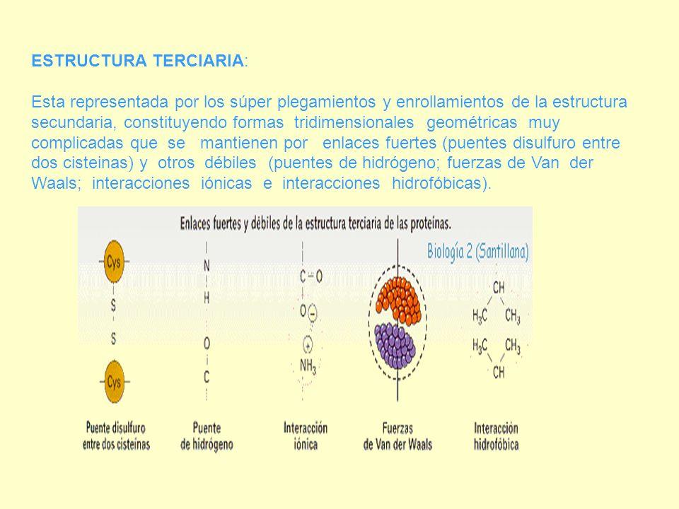 ESTRUCTURA TERCIARIA: Esta representada por los súper plegamientos y enrollamientos de la estructura secundaria, constituyendo formas tridimensionales