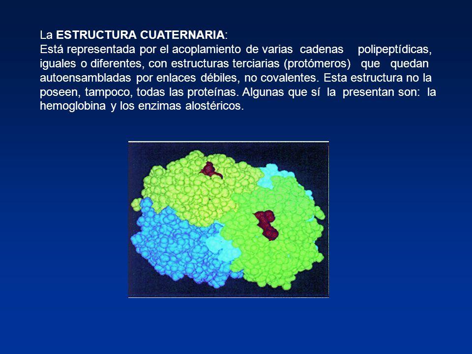 La ESTRUCTURA CUATERNARIA: Está representada por el acoplamiento de varias cadenas polipeptídicas, iguales o diferentes, con estructuras terciarias (p