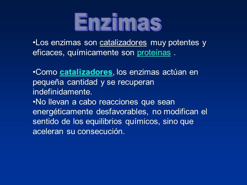 Los enzimas son catalizadores muy potentes y eficaces, químicamente son proteínas.proteínas Como catalizadores, los enzimas actúan en pequeña cantidad y se recuperan indefinidamente.catalizadores No llevan a cabo reacciones que sean energéticamente desfavorables, no modifican el sentido de los equilibrios químicos, sino que aceleran su consecución.