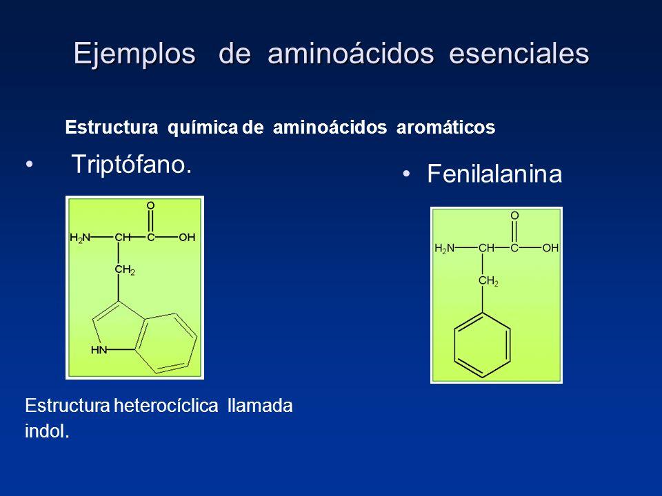 Ejemplos de aminoácidos esenciales Triptófano. Fenilalanina Estructura heterocíclica llamada indol. Estructura química de aminoácidos aromáticos
