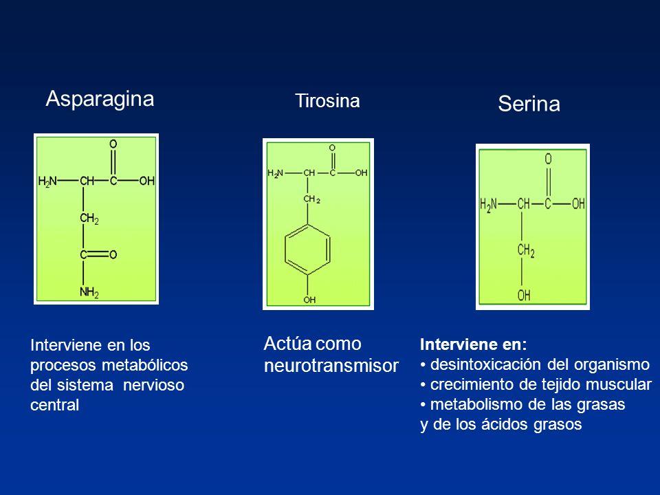Asparagina Interviene en los procesos metabólicos del sistema nervioso central Tirosina Actúa como neurotransmisor Serina Interviene en: desintoxicaci