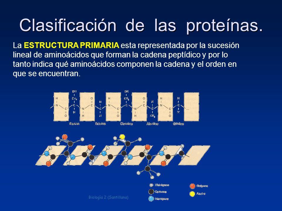 Clasificación de las proteínas. La ESTRUCTURA PRIMARIA esta representada por la sucesión lineal de aminoácidos que forman la cadena peptídico y por lo