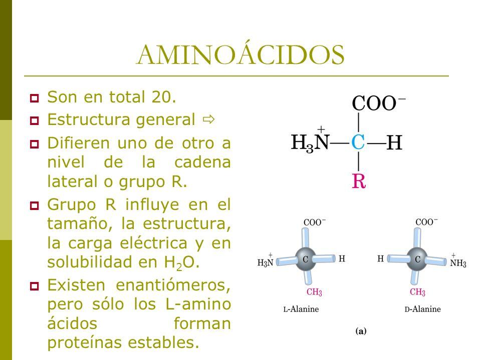 AMINOÁCIDOS Son en total 20. Estructura general Difieren uno de otro a nivel de la cadena lateral o grupo R. Grupo R influye en el tamaño, la estructu