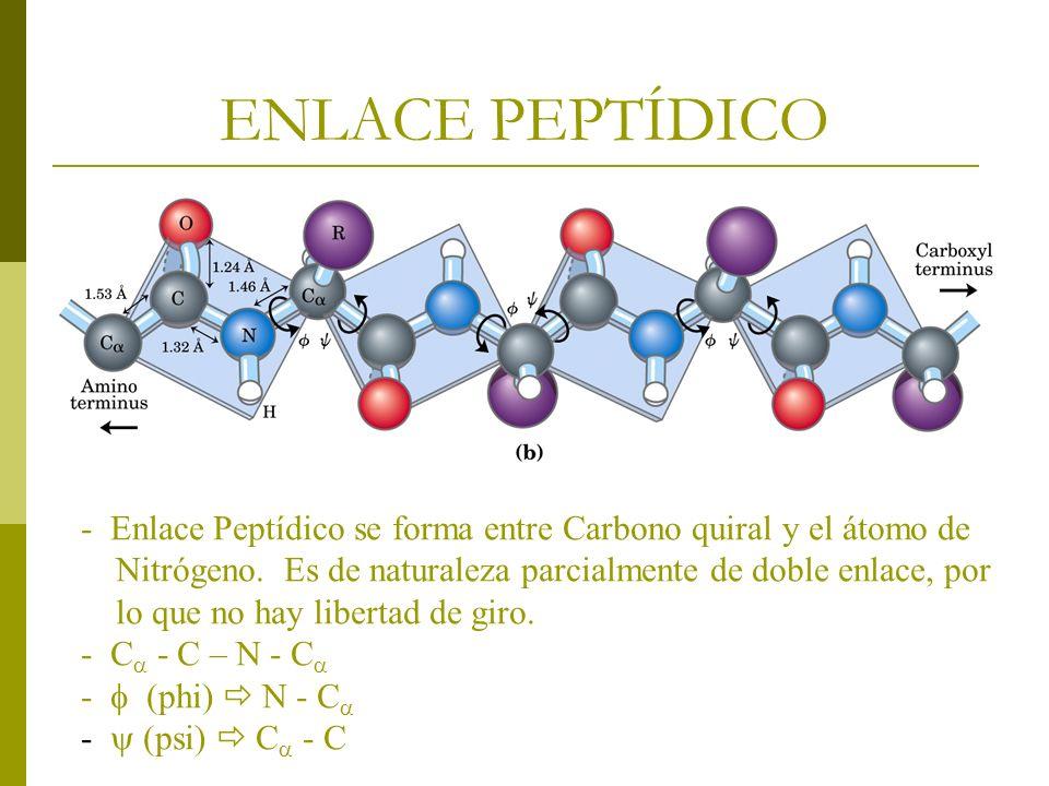 ENLACE PEPTÍDICO - Enlace Peptídico se forma entre Carbono quiral y el átomo de Nitrógeno. Es de naturaleza parcialmente de doble enlace, por lo que n
