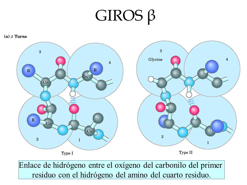 GIROS β Enlace de hidrógeno entre el oxígeno del carbonilo del primer residuo con el hidrógeno del amino del cuarto residuo.