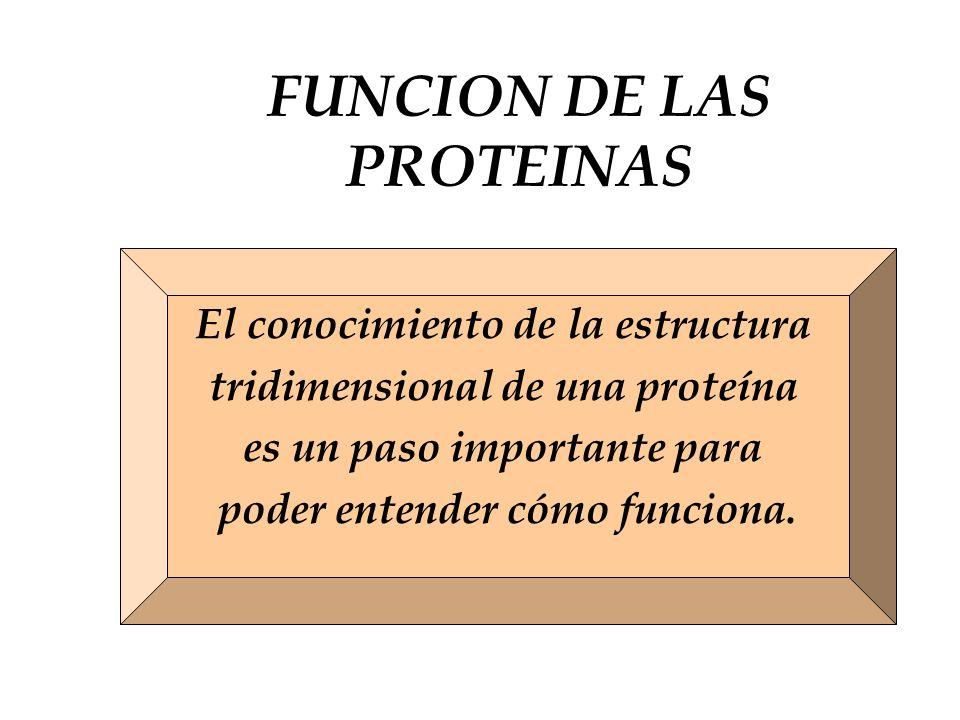 FUNCION DE LAS PROTEINAS El conocimiento de la estructura tridimensional de una proteína es un paso importante para poder entender cómo funciona.