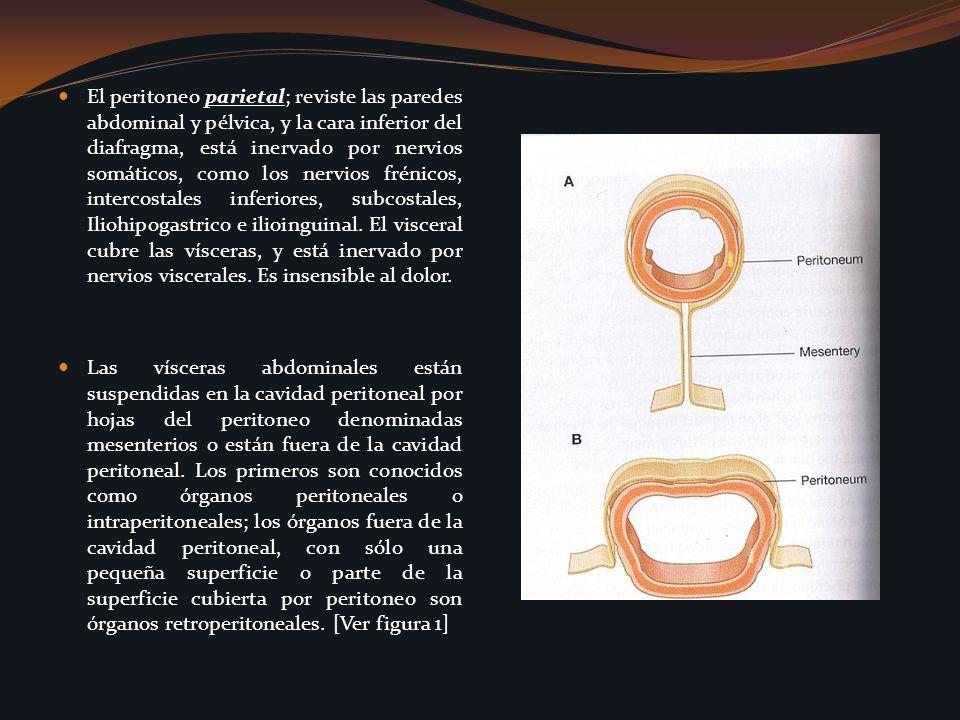 El peritoneo parietal; reviste las paredes abdominal y pélvica, y la cara inferior del diafragma, está inervado por nervios somáticos, como los nervio