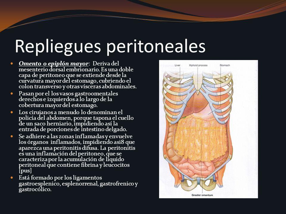 Repliegues peritoneales Omento o epiplón mayor: Deriva del mesenterio dorsal embrionario. Es una doble capa de peritoneo que se extiende desde la curv