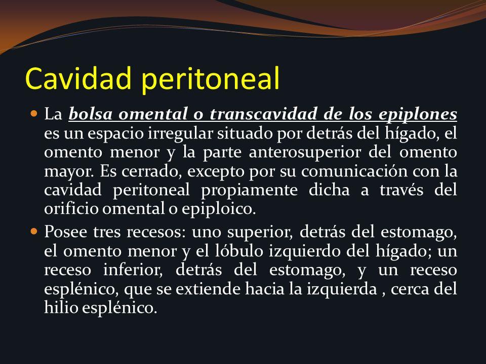 Cavidad peritoneal La bolsa omental o transcavidad de los epiplones es un espacio irregular situado por detrás del hígado, el omento menor y la parte