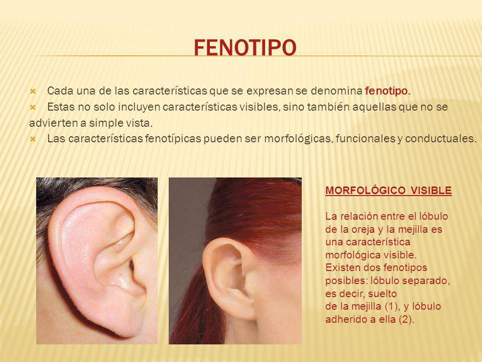 FENOTIPO Cada una de las características que se expresan se denomina fenotipo. Estas no solo incluyen características visibles, sino también aquellas