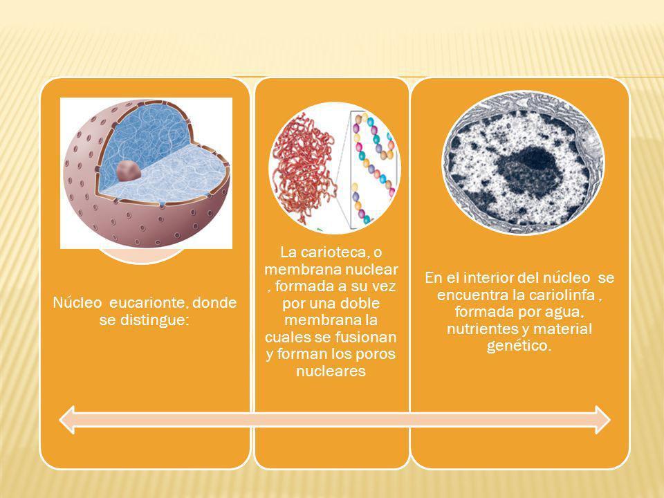 Núcleo eucarionte, donde se distingue: La carioteca, o membrana nuclear, formada a su vez por una doble membrana la cuales se fusionan y forman los poros nucleares En el interior del núcleo se encuentra la cariolinfa, formada por agua, nutrientes y material genético.