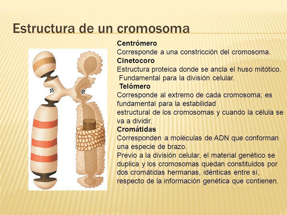 Estructura de un cromosoma Centrómero Corresponde a una constricción del cromosoma. Cinetocoro Estructura proteica donde se ancla el huso mitótico. Fu