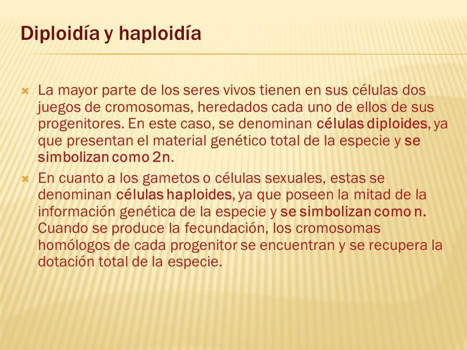 Diploidía y haploidía La mayor parte de los seres vivos tienen en sus células dos juegos de cromosomas, heredados cada uno de ellos de sus progenitores.