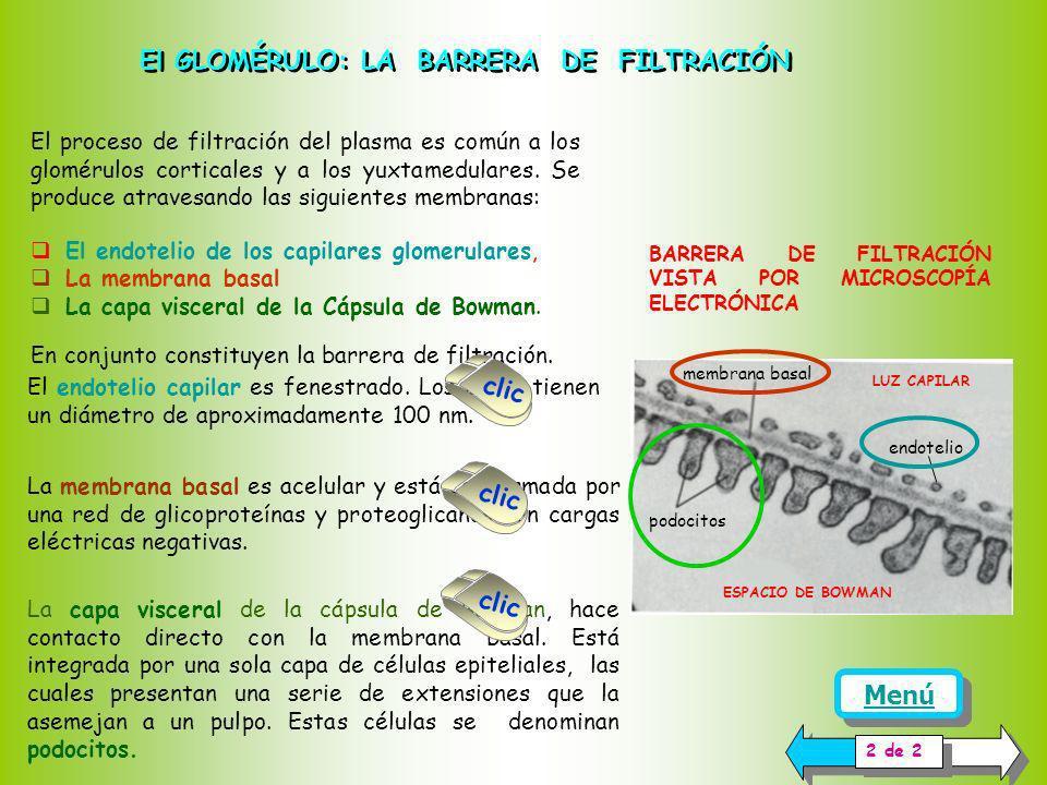 El glomérulo es la estructura de la nefrona donde ocurre la filtración del plasma, primer paso en la formación de la orina. El glomérulo está conforma