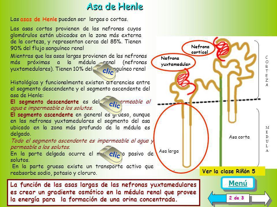 Los túbulos renales, se inician como una prolongación de la cápsula de Bowman. En los túbulos renales el filtrado glomerular es transformado en orina.