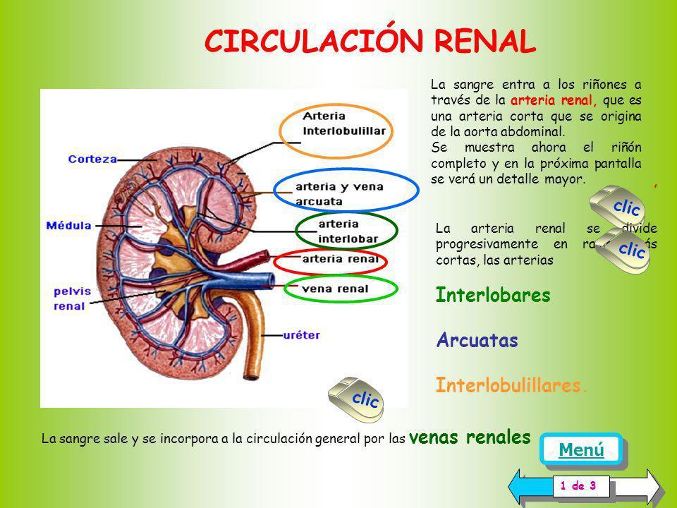 El túbulo distal está ubicado en la zona cortical del riñón. La región inicial es de aspecto contorneado. La región terminal es recta y generalmente s