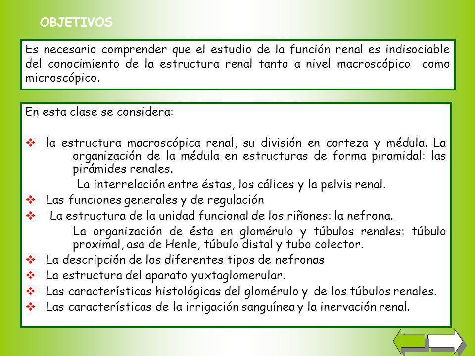 En esta clase se considera: la estructura macroscópica renal, su división en corteza y médula.