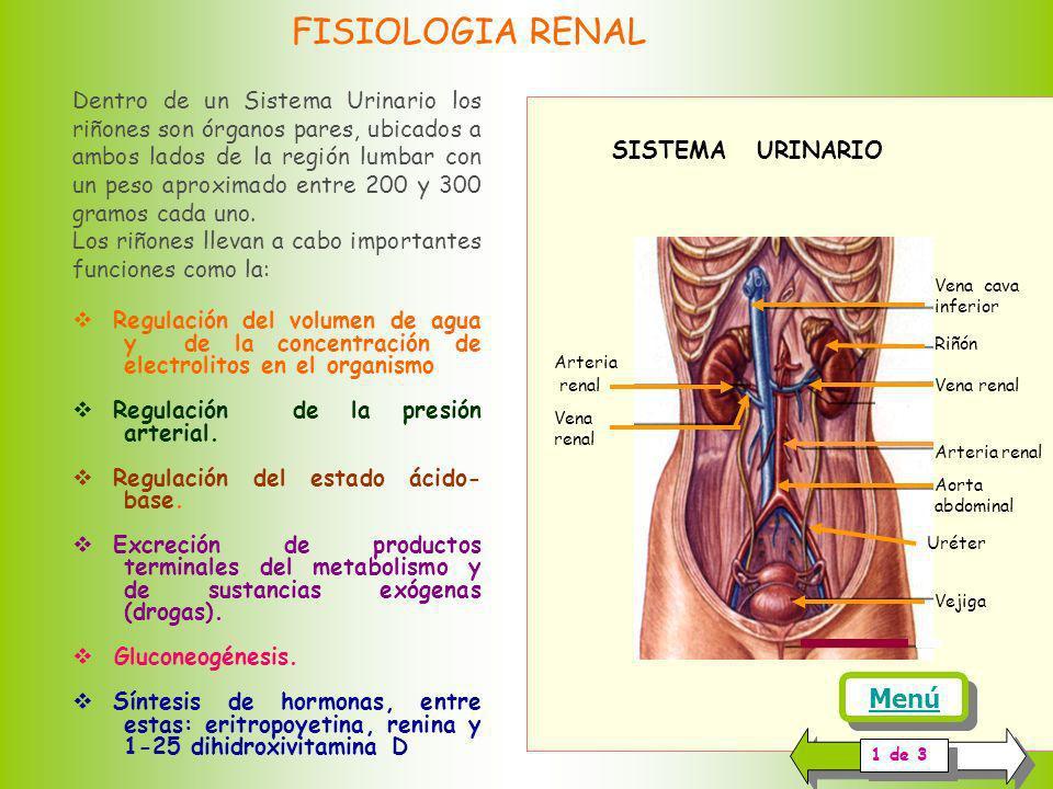 FISIOLOGIA RENAL Dentro de un Sistema Urinario los riñones son órganos pares, ubicados a ambos lados de la región lumbar con un peso aproximado entre 200 y 300 gramos cada uno.