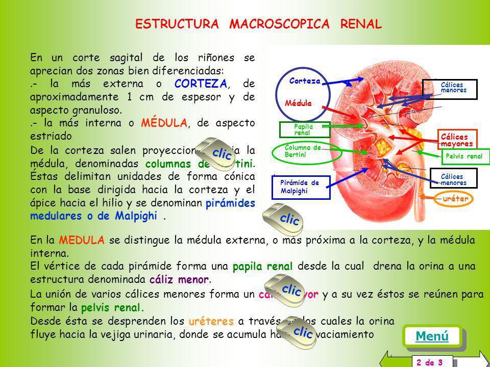 En un corte sagital de los riñones se aprecian dos zonas bien diferenciadas:.- la más externa o CORTEZA, de aproximadamente 1 cm de espesor y de aspecto granuloso..- la más interna o MÉDULA, de aspecto estriado ESTRUCTURA MACROSCOPICA RENAL 2 de 3 De la corteza salen proyecciones hacia la médula, denominadas columnas de Bertini.