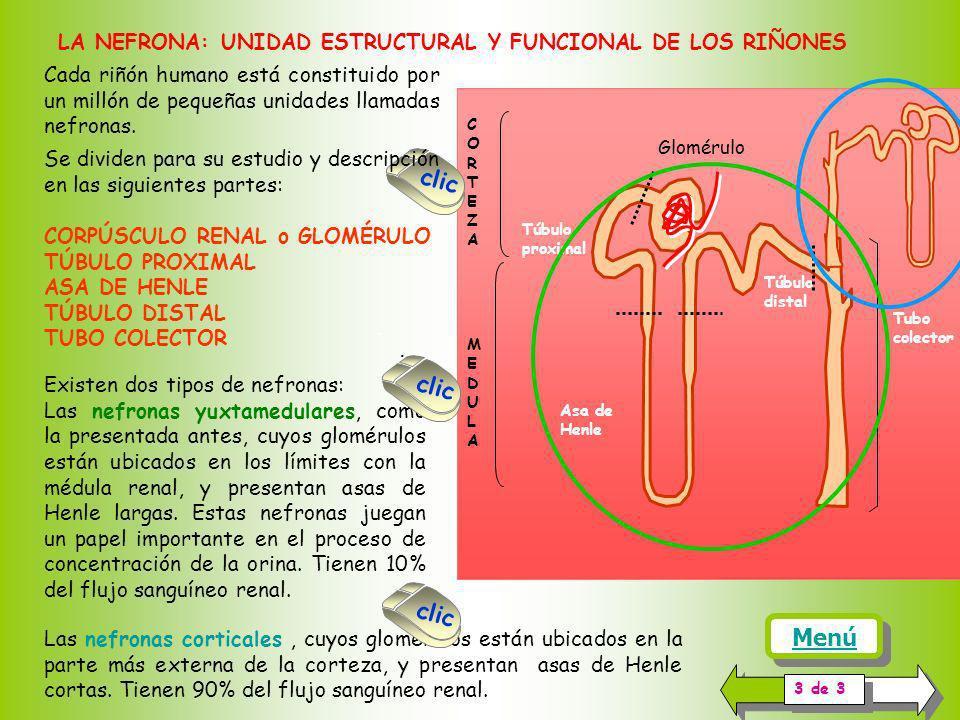 Cada riñón humano está constituido por un millón de pequeñas unidades llamadas nefronas.