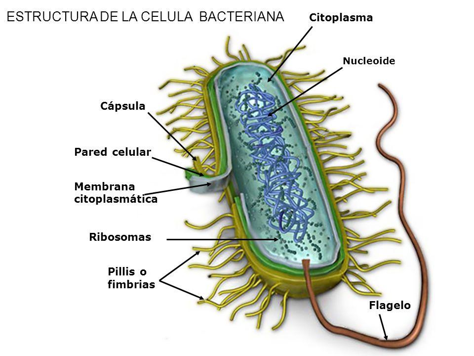 PILI O FIMBRIAS Son proyecciones proteicas rectas y muy finas, tipo pelo La mayoría están compuestos por un solo tipo de proteína (la pilina) Participan en la conjugación sexual entre las bacterias Actúan en la adhesión de las bacterias a las superficies que infectan FUNCIONES: