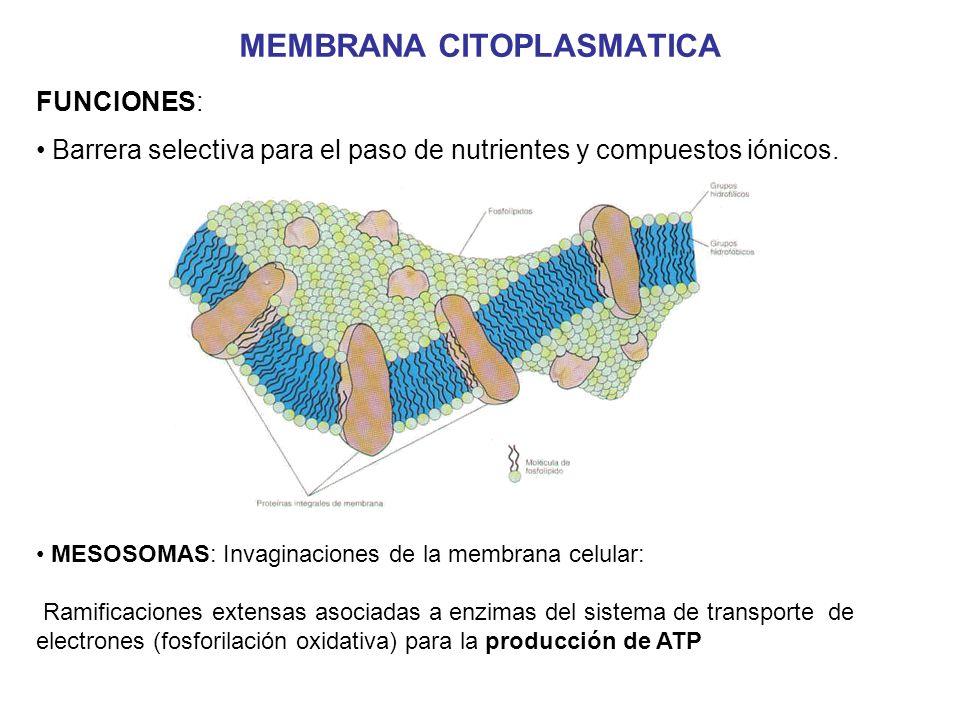 PARED CELULAR Características: Exterior a la membrana citoplasmática Formada de mureina (peptidoglicano o muco- péptido) presente en todas las bacterias Es semirígida y protege a la célula de la lisis por variaciones osmóticas Da forma a la bacteria y es completamente permeable