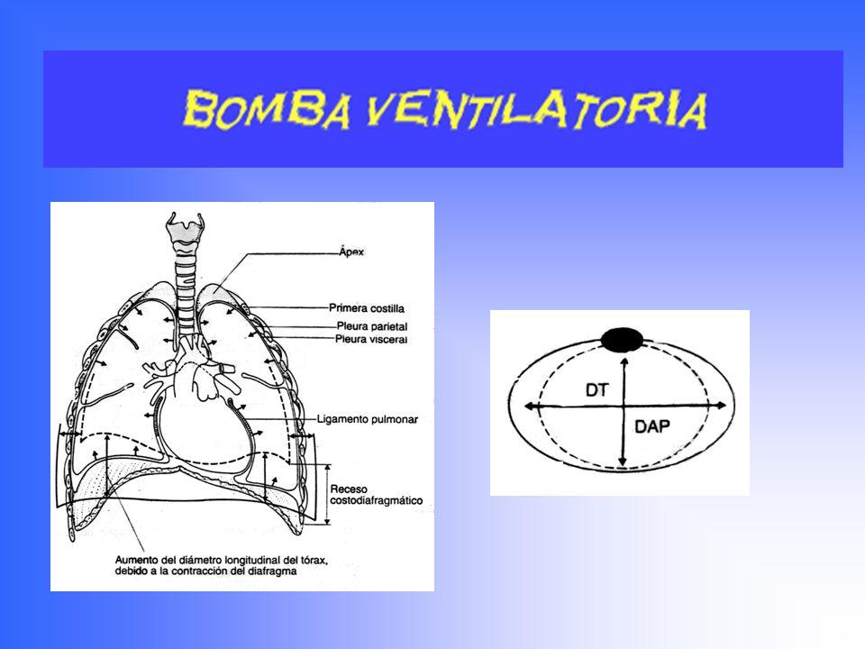 Distribución del aire en el Aparato Respiratorio Sistema de conducción Espacio Muerto anatómico Espacio Muerto fisiológico Volumen=150 mltrs.