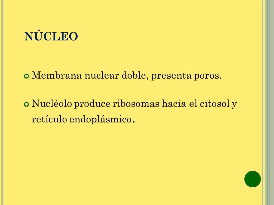 NÚCLEO Membrana nuclear doble, presenta poros. Nucléolo produce ribosomas hacia el citosol y retículo endoplásmico.