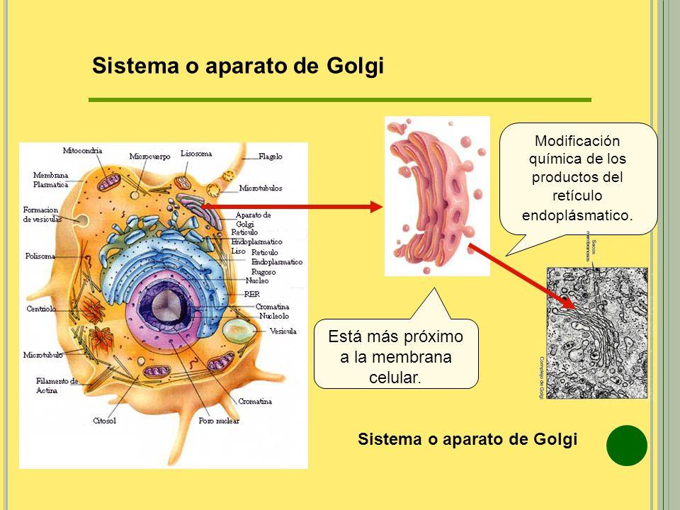Sistema o aparato de Golgi Modificación química de los productos del retículo endoplásmatico. Está más próximo a la membrana celular. Sistema o aparat
