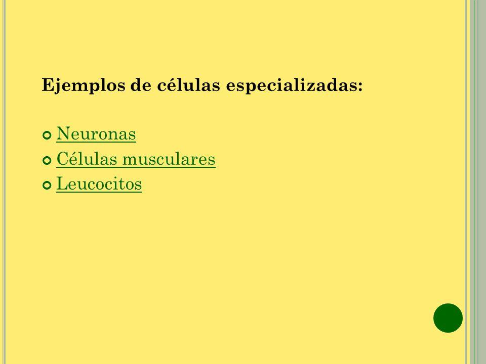 Ejemplos de células especializadas: Neuronas Células musculares Leucocitos