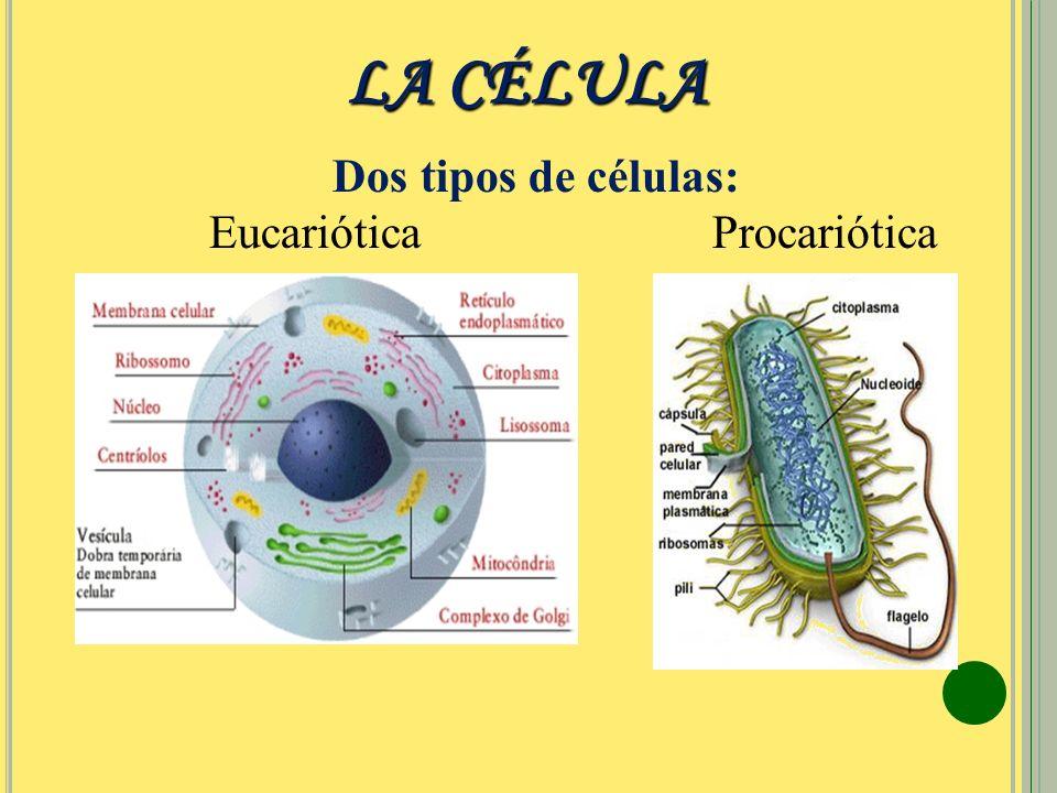 LA CÉLULA Dos tipos de células: Eucariótica Procariótica