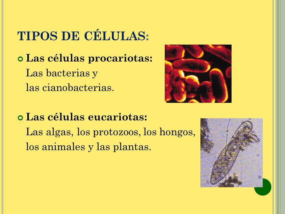TIPOS DE CÉLULAS: Las células procariotas: Las bacterias y las cianobacterias. Las células eucariotas: Las algas, los protozoos, los hongos, los anima