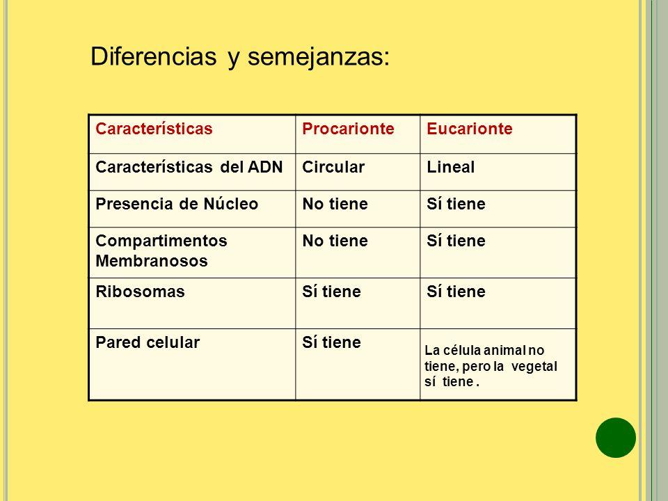 CaracterísticasProcarionteEucarionte Características del ADNCircularLineal Presencia de NúcleoNo tieneSí tiene Compartimentos Membranosos No tieneSí t