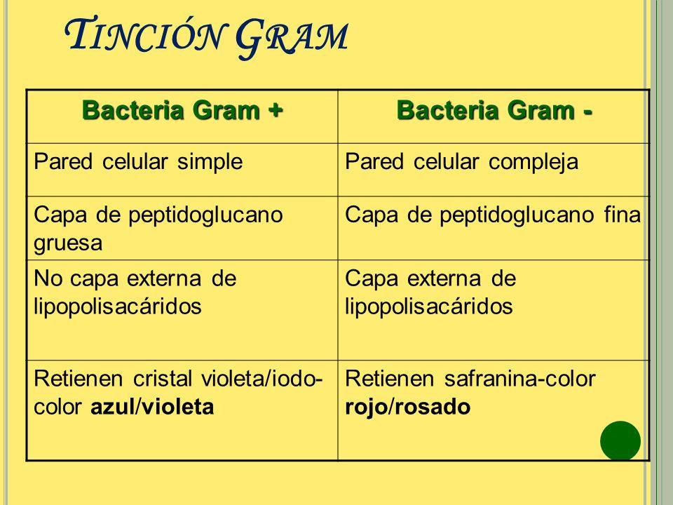 T INCIÓN G RAM Bacteria Gram + Bacteria Gram - Pared celular simplePared celular compleja Capa de peptidoglucano gruesa Capa de peptidoglucano fina No