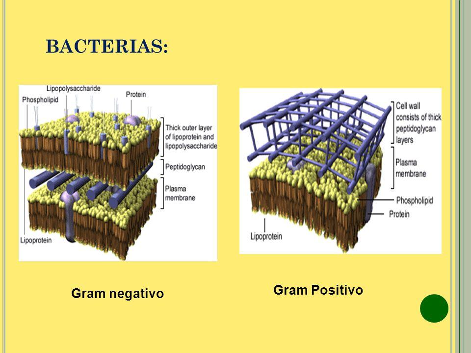 BACTERIAS: Gram negativo Gram Positivo