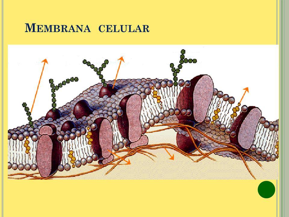 Ribosoma Está formado por ARNr y proteínas ribosomales. Síntesis de proteínas. Ribosoma